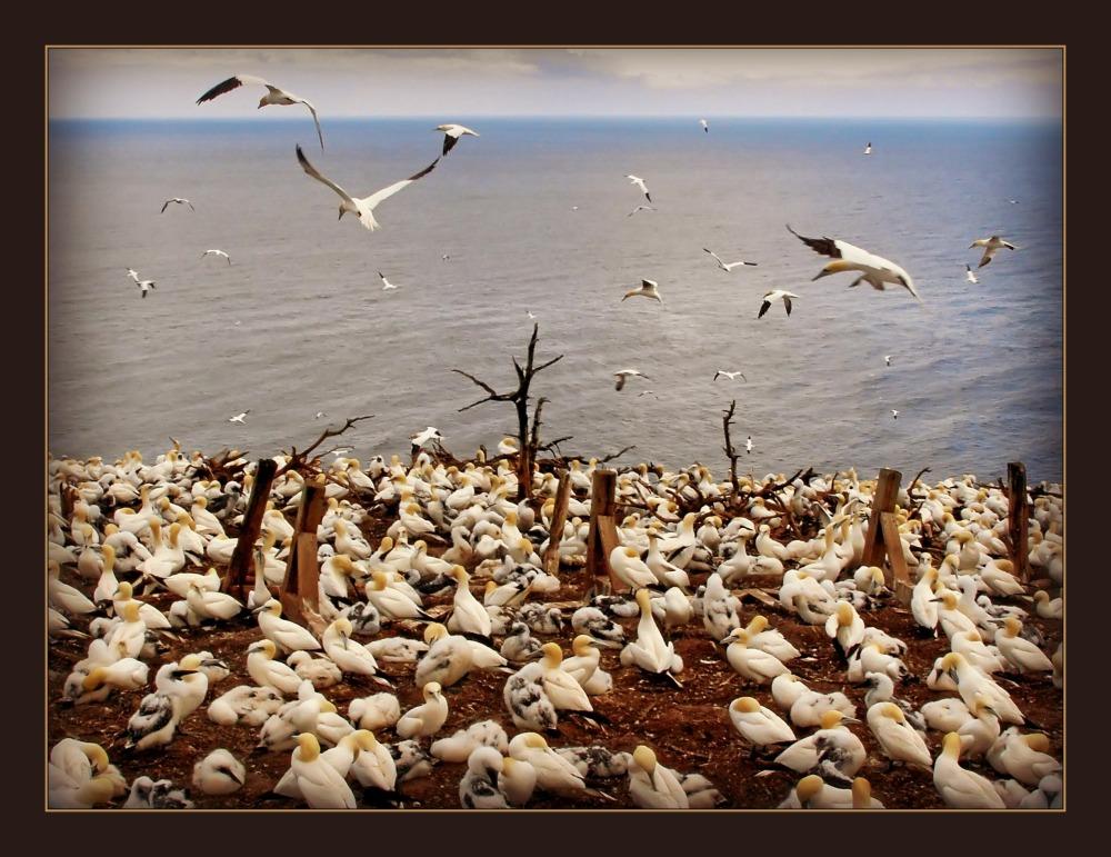 quebec, percé, gannet colony, ile bonaventure