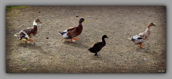 iceland 2014, snæfellsnes, bjarnahöfn, ducks