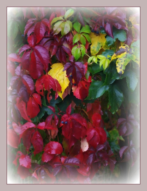 autumn, woodbine, red leaves