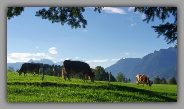 austria, salzburg, alps, cows, pasture