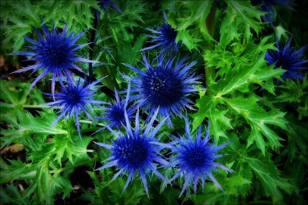 ireland, thistles, flowers