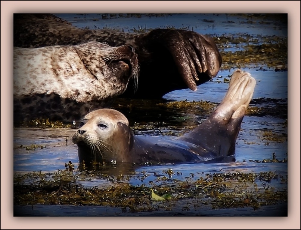 ireland, bantry bay, harbour seals
