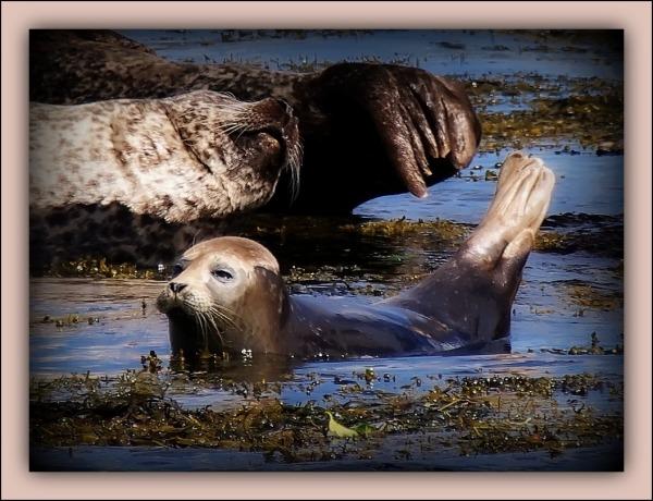 ireland, bantry bay, harbour seals