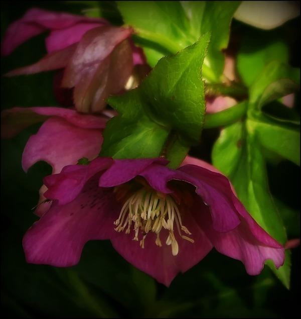 my garden, spring, pink hellebore, easter rose