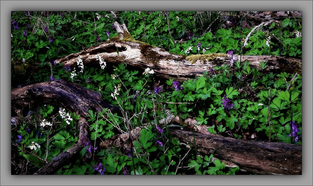 spring, flowers, hollowroot, forest floor