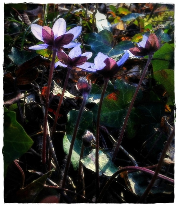 spring, wilderness, leverwort, hepatica