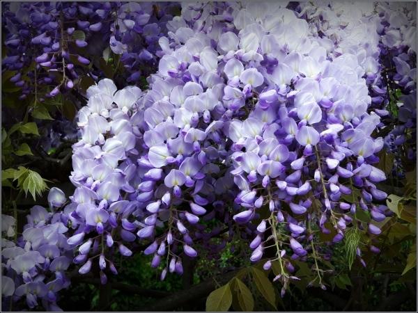 italy, bergamo, wisteria