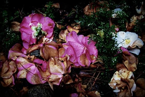 italy, rain, roses