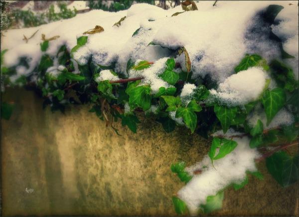 winter, snow, ivy, wall