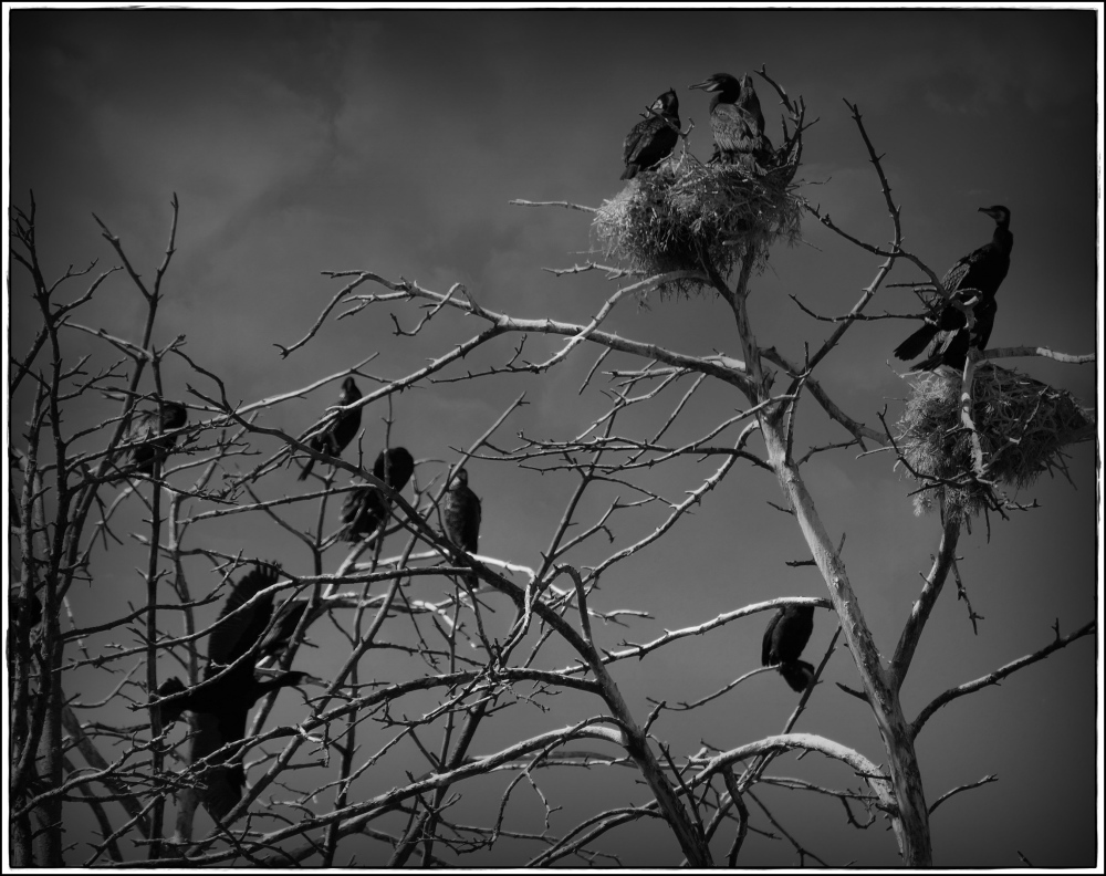 lithuania, curonian spit, cormorants, nests, bw