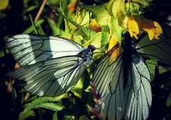 Aporia crataegi   the black veined white