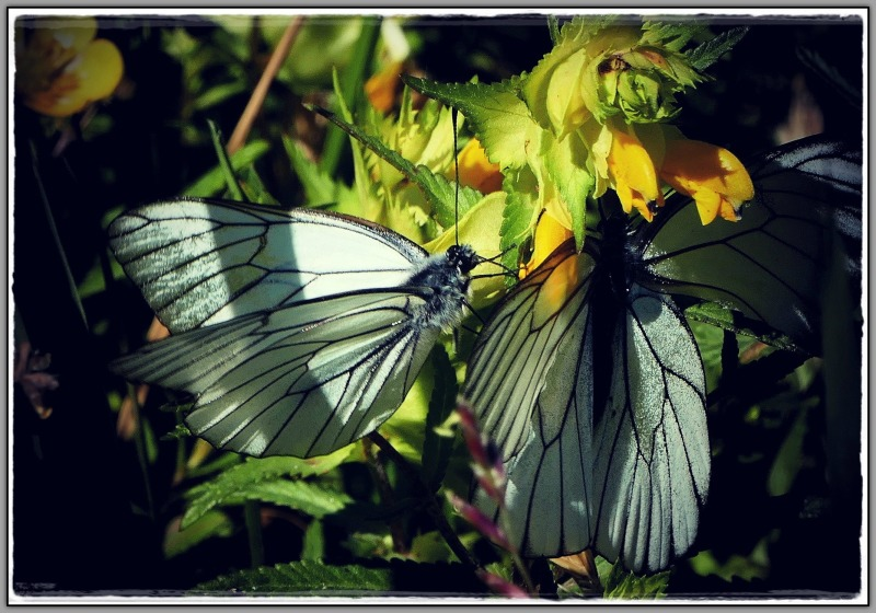 lithuania, curonian spit, butterfly, flowers
