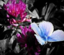 Polyommatus semiargus   Mazarine blue