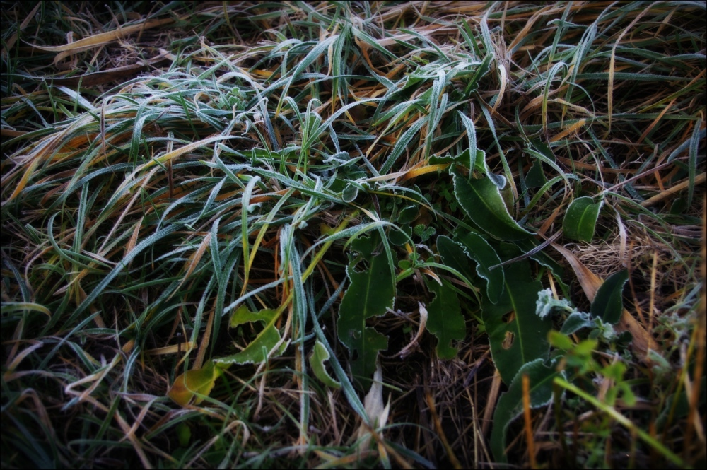 grass, leaves, frost