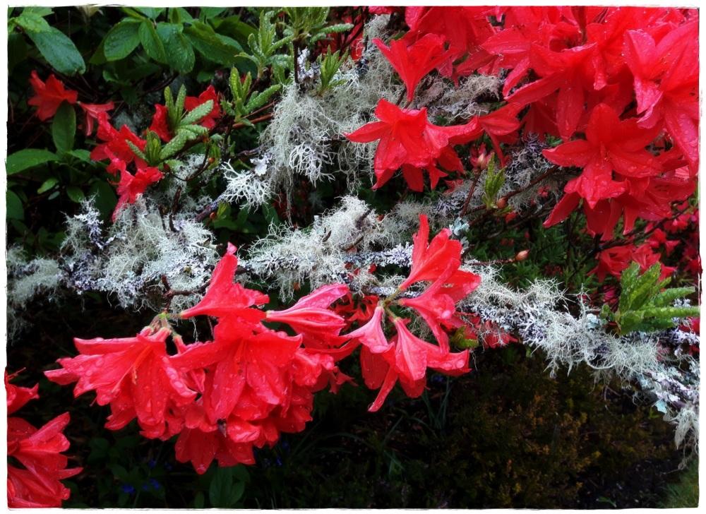 scotland, rhododendron, lichen, rain
