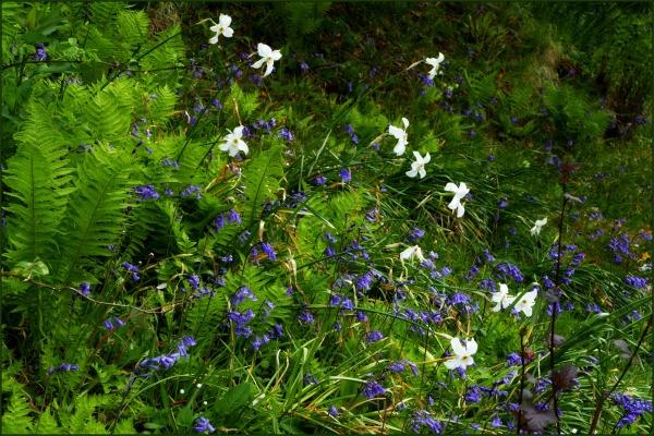 scotland, park, flowers, daffodils, bluebells