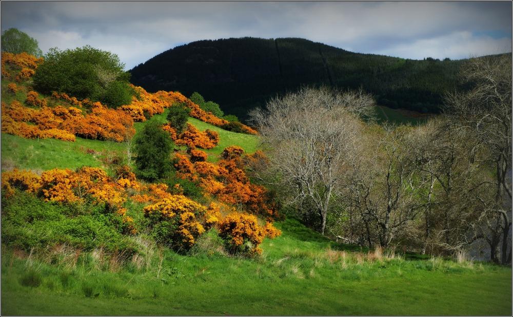 scotland, hills, gorse