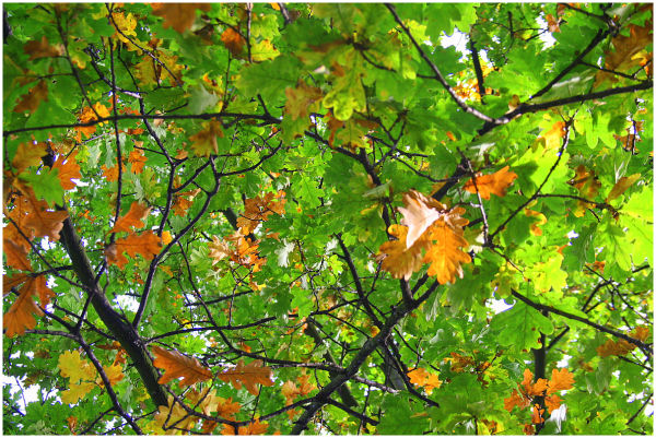 Oak-tree autumn - last warm breath