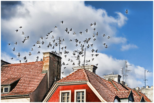 Pigeons over the roofs.