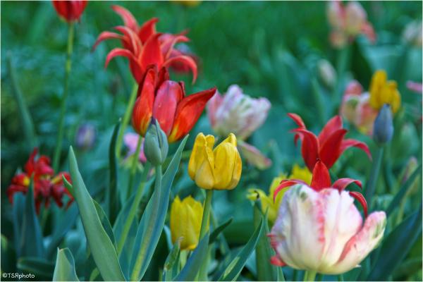 Tulips meadow