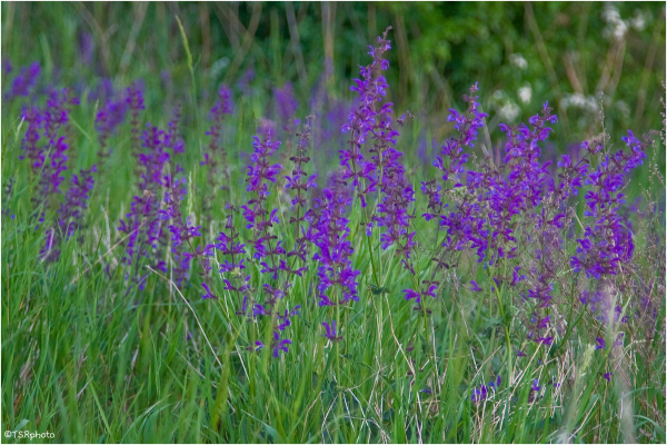 Violet and green meadow