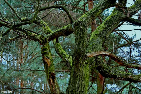 Green Boughs
