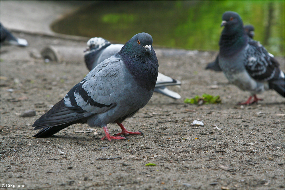Pigeons World 2