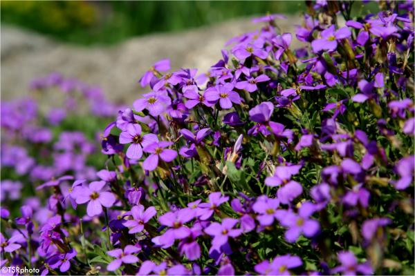 Violet meadow