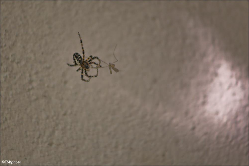 Mosquito ? ....no chance