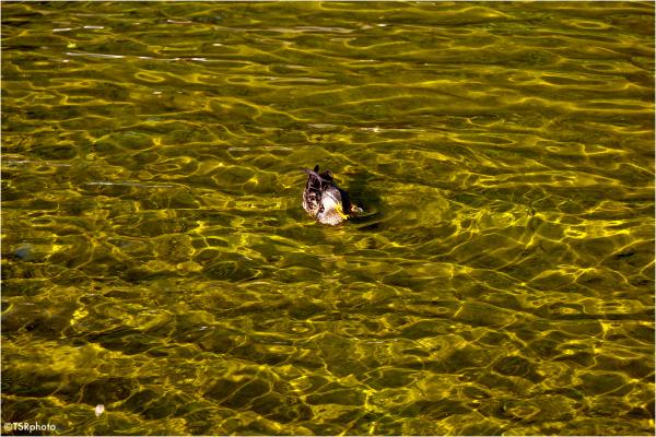 Duck in the Golden water.
