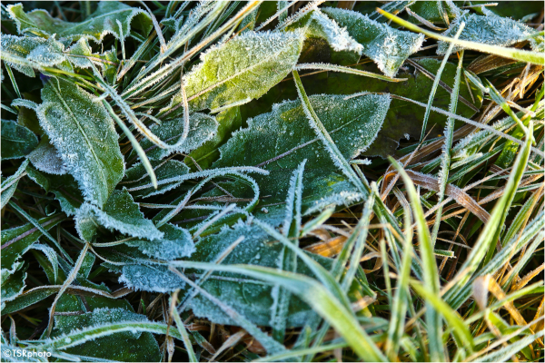 Frosted greenery
