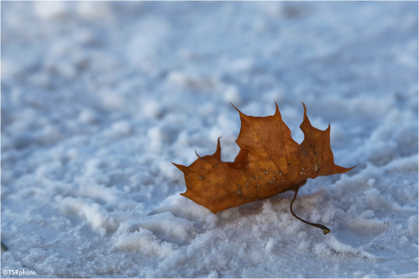 Leaf on the Snow