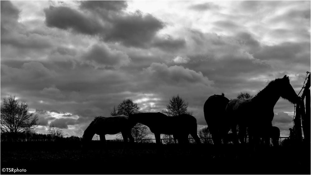 Horses at the dusk