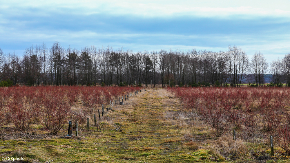 Blueberry plantation