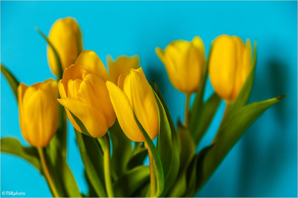 Tulips 2/3