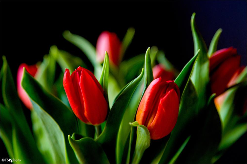 Tulip 3/3