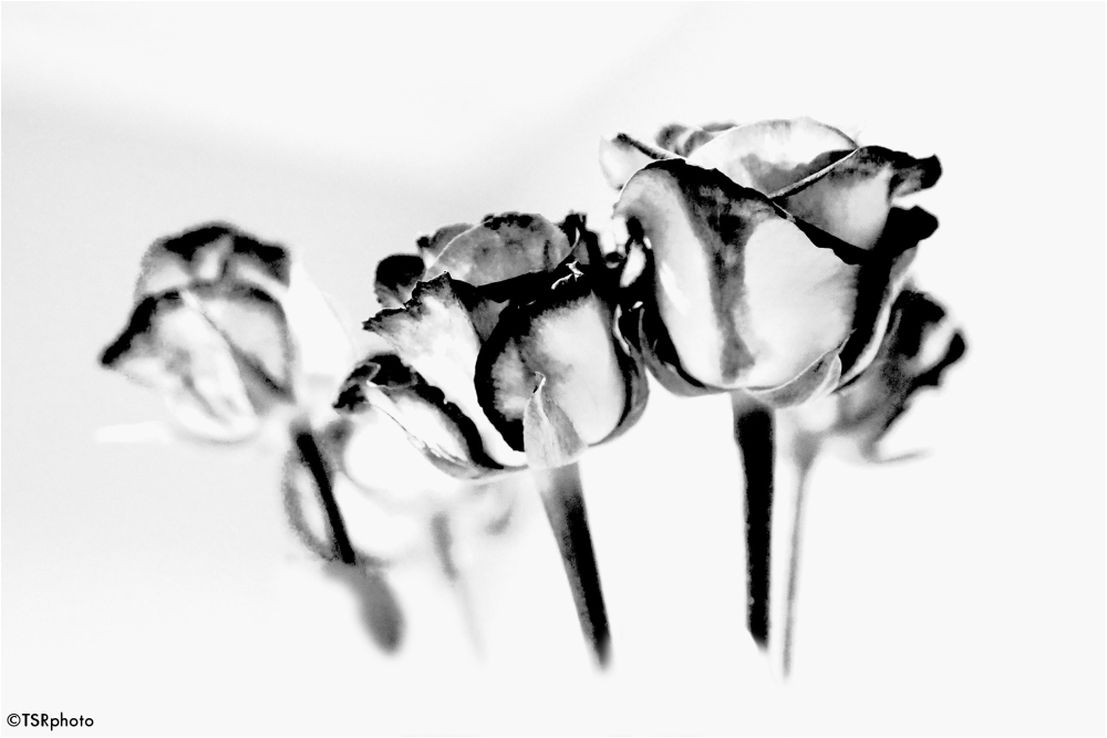Roses 2/3