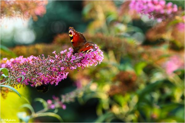 Butterfly pardise 3/5