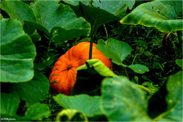 Hidden Pumpkin