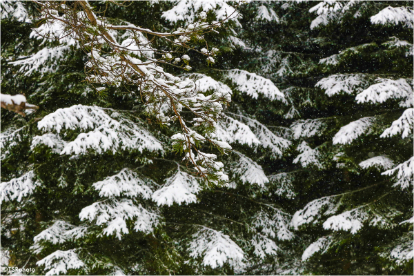 White spruces
