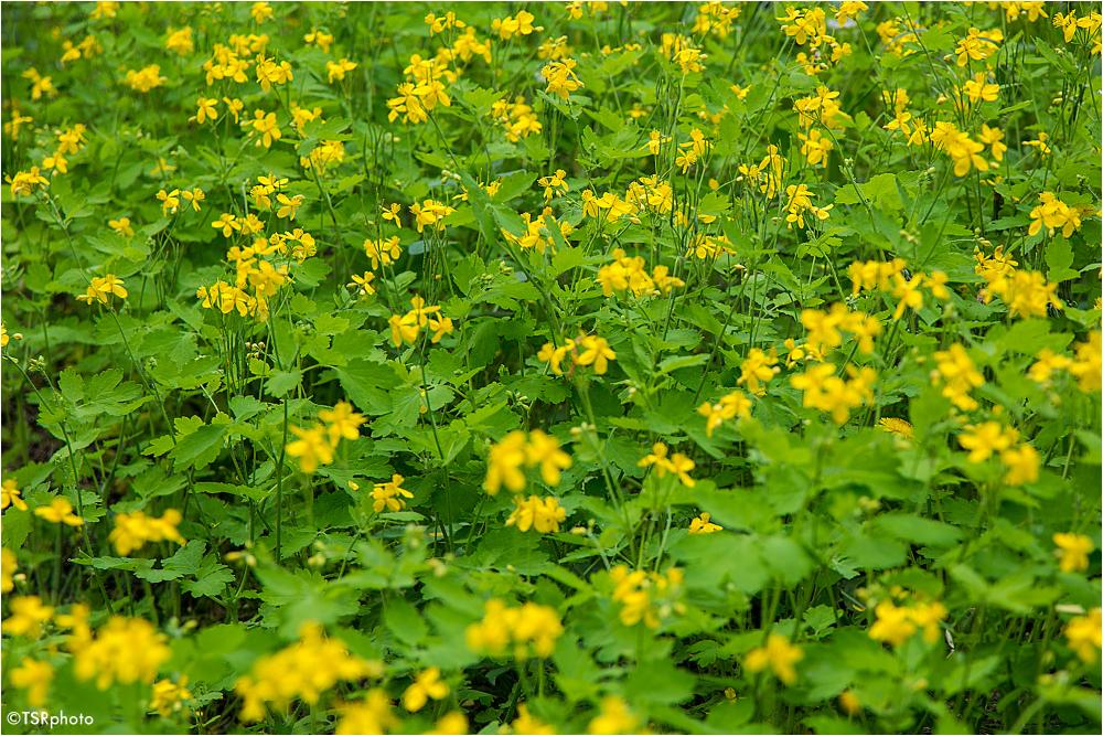Meadow flowers 4/4
