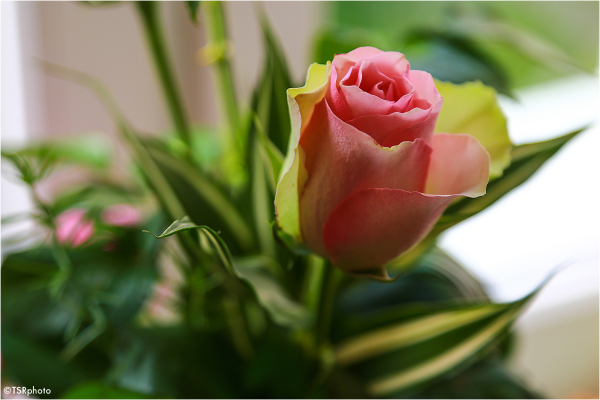 Pose of Rose 1/6