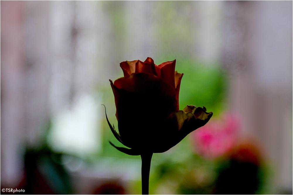 Pose of Rose 5/6