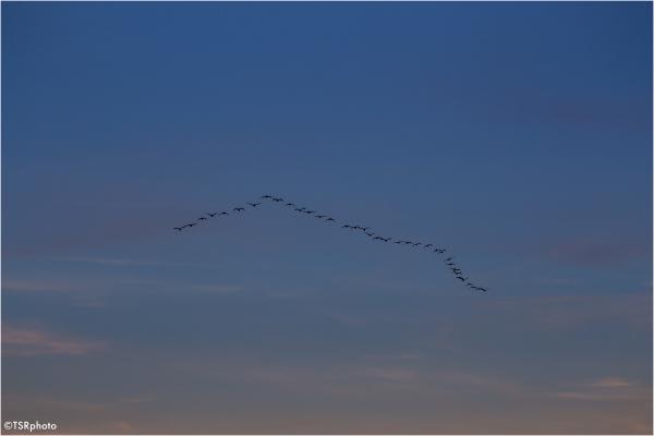 Cormorants migration