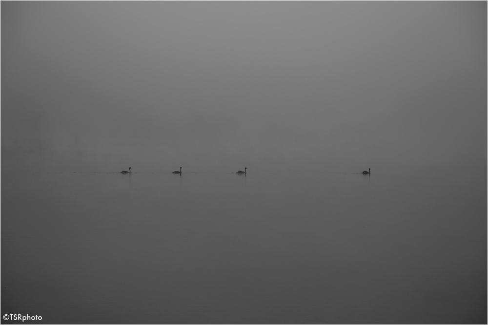 Swans journey