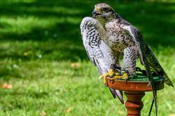 Imprisoned Falcon