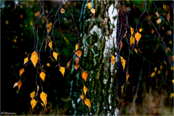 Autumnal birch