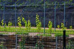 Experimental  Vineyard