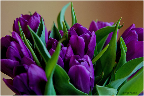Tulips Time