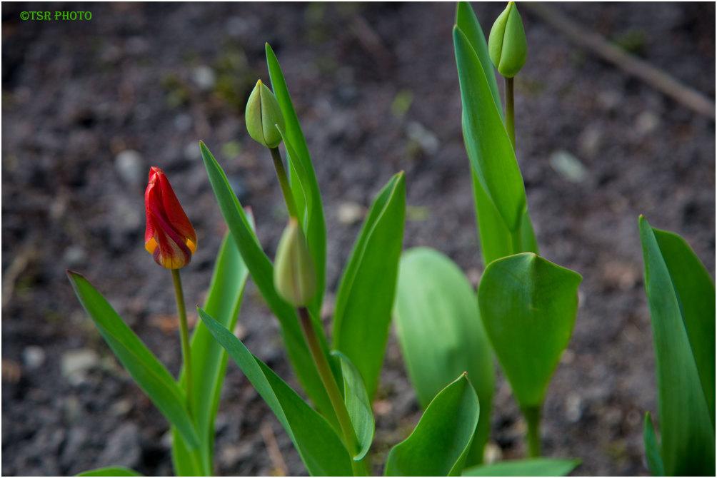 Tulips still growing